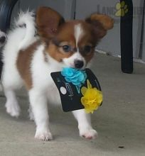 Papillon Puppies with ckc registration papers