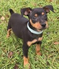 playful Miniature Pinscher puppies.