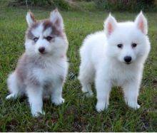 Pomsky Puppies ready