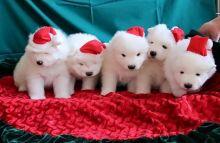 Samoyed Puppies ready