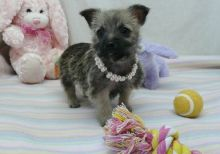Soft and fluffy Cairn Terrier puppies