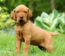 View our adorable Vizsla puppies