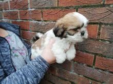 Lhasa Apso puppies - Image eClassifieds4U