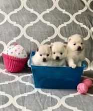 Excellent Pomeranian Puppies For A Good Homes Image eClassifieds4U