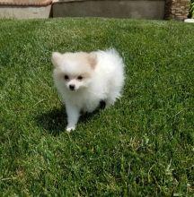 Micro cute Pomeranian puppies for adoption. Image eClassifieds4U