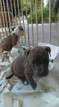 Bluenose Pit bull Puppies For Adoption