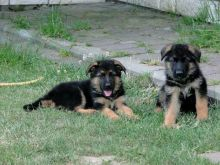 German Shepherd puppies Ready Now..Email me through gimivladimir00@gmail.com