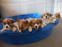Pembroke welsh corgi Puppies Ready to go now
