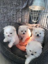 Pomeranian Puppies For Adoption / Email me through...lovelypomeranian155@gmail.com