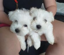 Pure White Maltese Puppies for New Homes