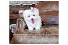 Super adorable Maltese Puppies(Call Or Text (585) 357-2327