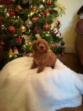 Toy Poodle Puppies Available Adopters