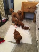 Toy Poodle Puppies Available Adopters.. contact ggimirado@gmail.com