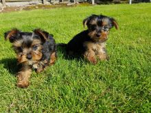 Yorkshire Terrier Puppies For Adoption contact me via kaileynarinder31@gmail.com