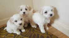 Maltese Puppies Seeking new homes Image eClassifieds4U