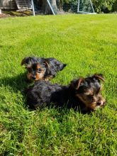 Yorkshire Terrier Puppies For Adoption..Email me through > ggimirado@gmail.com Image eClassifieds4u 2