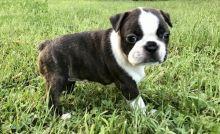 Adorable Boston Terrier babies for adoption( denislambert500@gmail.com)