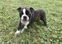 Boston Terrier puppies for adoption. ( denislambert500@gmail.com)