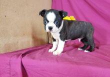 Boston Terrier puppies Needs Good home( denislambert500@gmail.com)