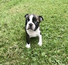 Boston Terriers Puppies Available!( denislambert500@gmail.com)