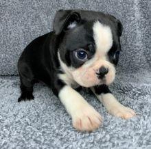 Happy Boston Terrier puppies available( denislambert500@gmail.com)