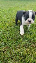 Male and female Boston Terrier Pupps available( denislambert500@gmail.com)