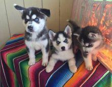 Gorgeous Blue Eyes Siberian Husky for Adoption