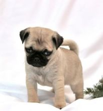 MALE AND FEMALE Adorable Pug puppies available