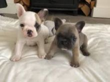 MALE AND FEMALE FRENCH BULLDOG PUPPIES AVAILABLE