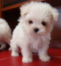 CKC quality Maltese Puppies for adoption!!!