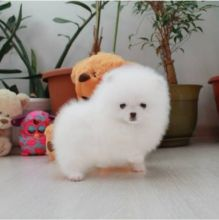 Adorable snow White Pomeranian Puppies Male and Female For Adoption
