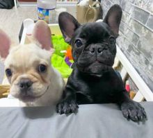 Excellent French Bulldog Puppies Available For Adoption