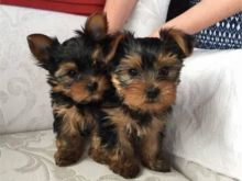 Well Trained Teacup Yorkie Puppies for Adoption Email us (lucassmoonray23@gmail.com)