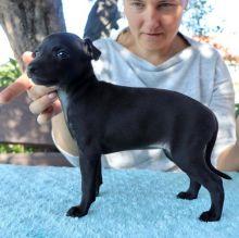 Adorable Italian Greyhound Puppies available (mccauley.cauley@gmail.com)