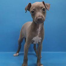 AKC quality Italian Greyhound Puppies available (mccauley.cauley@gmail.com)