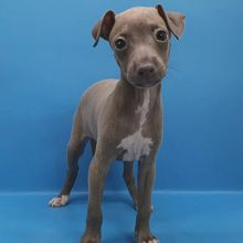 Nice and Healthy Italian Greyhound Puppies available (mccauley.cauley@gmail.com)