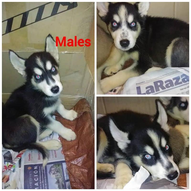 Adorable Siberian husky puppies Image eClassifieds4u