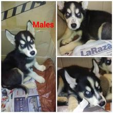 Adorable Siberian husky puppies Image eClassifieds4U