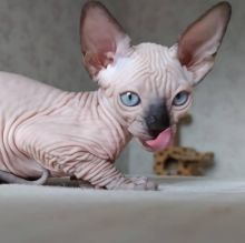 Pure beautiful Sphynx kittens