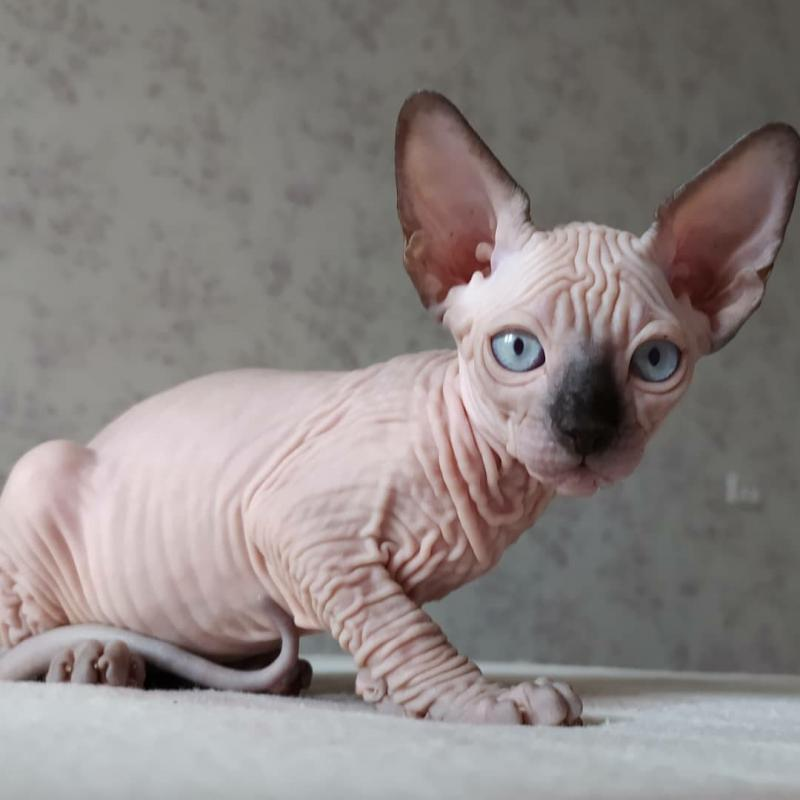 Pure beautiful Sphynx kittens Image eClassifieds4u