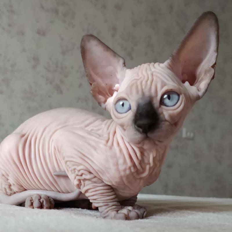 Pure beautiful Sphynx kittens Image eClassifieds4u