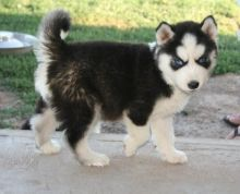 Selling Siberian Husky puppies Ready Text at 807 907 2988