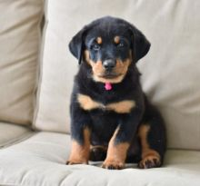 CKC ROTTWEILER PUPPIES FOR RE-HOMING