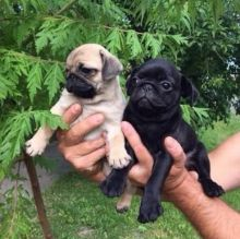 Amazing Ckc Pug Puppies