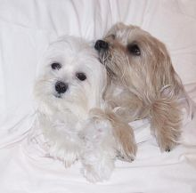 Dramatic Ckc Maltese Puppies Available Email at us [ scottjerry107@gmail.com ]
