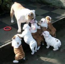 Playful English Bulldog puppies for Rehoming