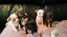 Gorgeous Apple head Teacup chihuahua puppies Available Image eClassifieds4U