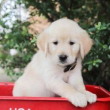 Sweet Golden Retriever Puppies Image eClassifieds4U