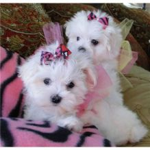 Two Top Class Maltese Puppies Available Image eClassifieds4U