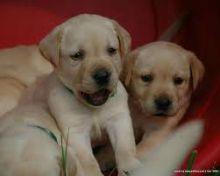 Breathtaking Ckc Labrador Retriever Puppies Available